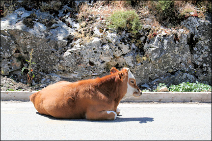 France, Corsica - Cow in the middle of the road