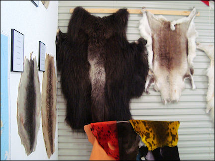 Greenland - Hides on the wall in tannery, Qaqortoq