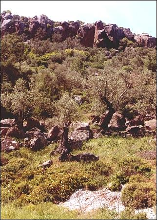Greece, Lesbos - Rocks and olive trees