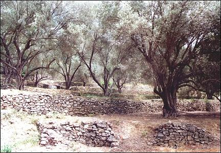 Greece, Samos - Olive trees in fairy-like light