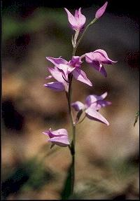 Hungary, Bükk Mountains - Wild orchid