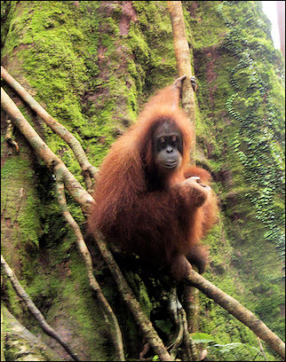 Indonesia, Sumatra - Orang utan in National Park Gunung Leuser