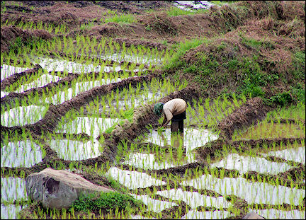 Indonesia, Sumatra - Rice cultivation on terraces