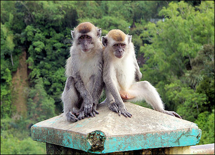 Indonesia, Sumatra - Monkeys at lookout point over Sianok Canyon