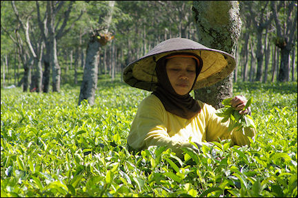 Indonesia, Java - Tea picker