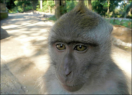 Indonesia, Bali - Sacred Monkey Forest Sanctuary, macaque