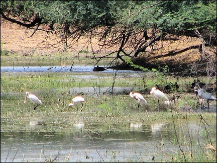 India, Bharatpur - Keoladeo bird sanctuary