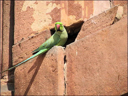 India, Fatahpur Sikri - Parakeet amidst red stones