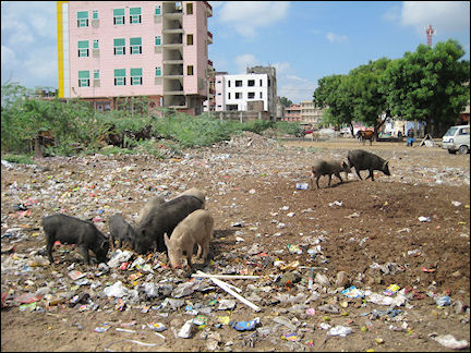 India - Jaipur, pigs roam amidst garbage