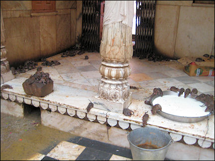 India - Bikaner, rats, rats and more rats