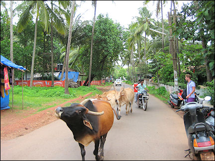 India - Goa, cows roam the streets everywhere