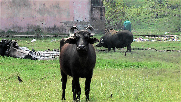 India, Mamallapuram - Water buffalo watching us