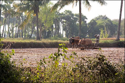 India, Tamil Nadu - Pondicherry, waterbuffelo plough the land