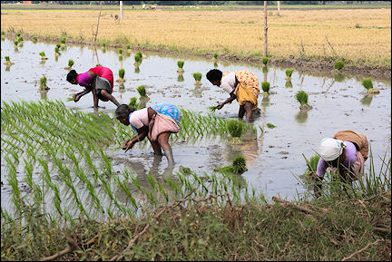 India, Tamil Nadu - Vedantagal, women plant rice
