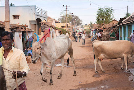 India, Kerala and Karnataka - Gundlupet, street scene with cows
