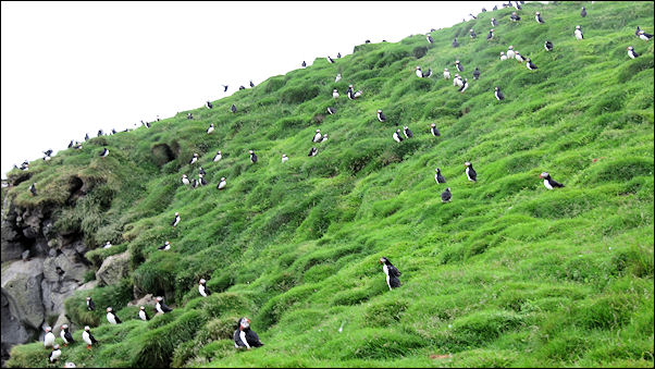Iceland - Atlantic puffins on Ingolfshofdi