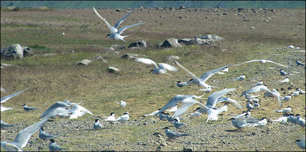 Iceland - Sjonskliffa, nesting grounds of the Northern gannet