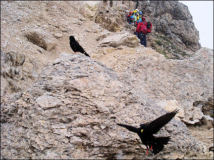 Italy, Dolomites - Gardena Pass peak of Cir Spitz, crow parading for crumbs