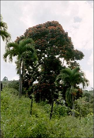 Jamaica - Ocho Rios, flame of the forest