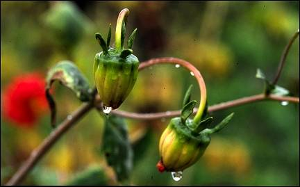 Kenya - Buds with raindrops