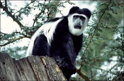 Kenya - Colobus monkeys