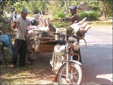 bicycle vacation Cambodia - Transportation of pigs by motor bike with trailer