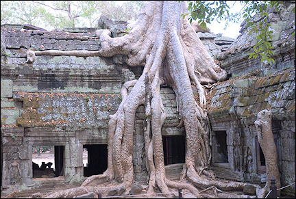 Cambodia - Tree roots are merged with the Khmer temple complex Ta Prohm