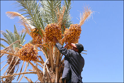 Morocco - Amridil, picking dates