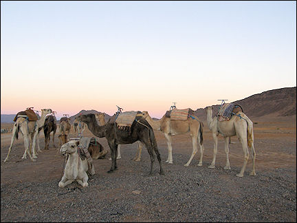 Morocco, Zagora - The dromedaries are ready