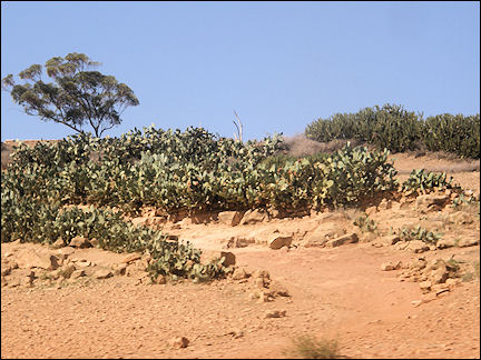 Morocco - Cactuses between Rabat and Fès