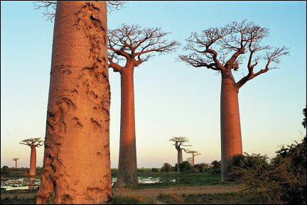 Madagascar - Mysterious landscape with baobabs