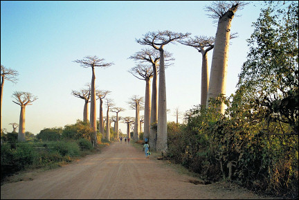 Madagascar - Baobab-lined road