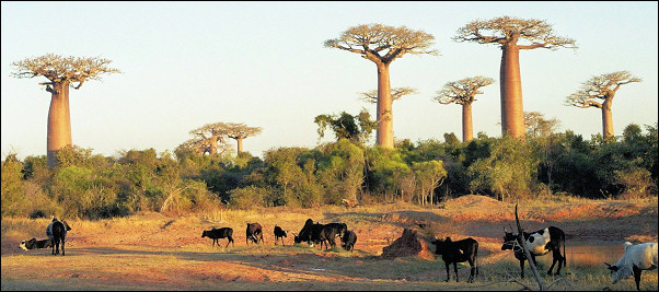 Madagascar - Landscape with baobabs