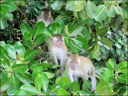 Malaysia, Penang - On the way we see monkeys
