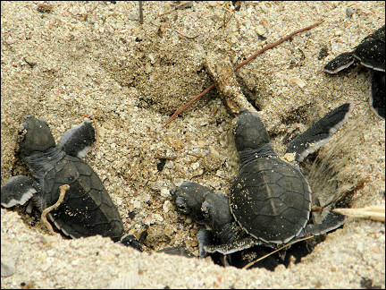 Malaysia, Borneo, Sabah - Young turtles leave the nest