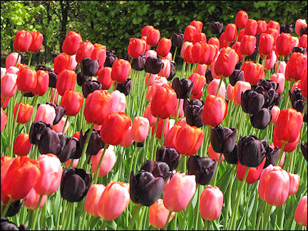Netherlands, Amsterdam - Tulips of practically every possible colour