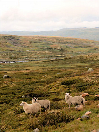 Norway - Hardangervidda, sheep