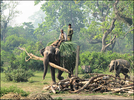 Nepal - Chitwan National Park, elephant at work