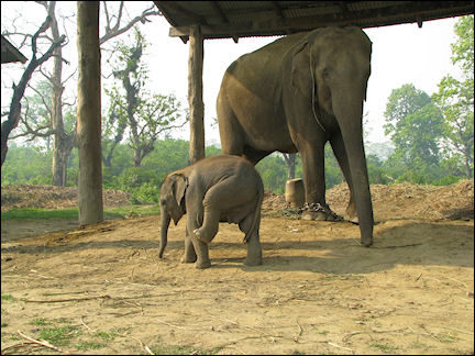 Nepal - Chitwan National Park, Elephant Breeding Centre