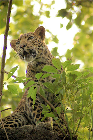 Nepal - Chitwan National Park, meeting leopard during elephant ride