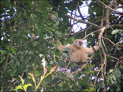 Thailand - Monkey in Khao Yai National Park