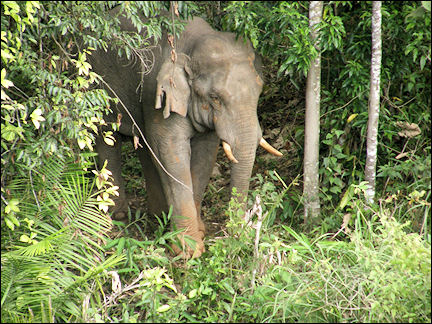 Thailand - Elephant in Khao Yai National Park