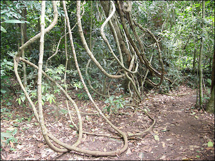Thailand - Lianas in Khao Yai National Park