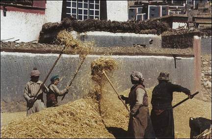 Tibet - Harvest in Sakya