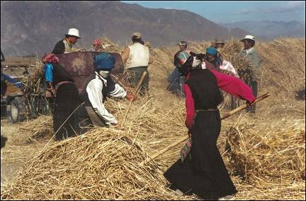 Tibet - Threshing wheat