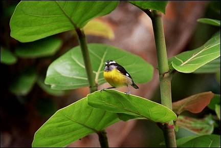 Trinidad and Tobago; - Bananaquits