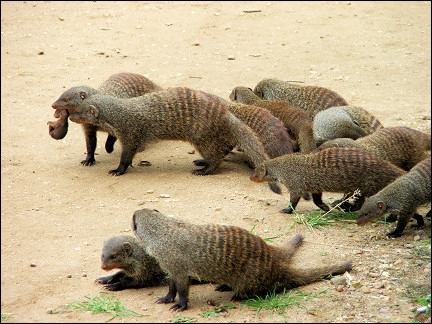 Uganda - Queen Elisabeth Park, mongoose with cubs in their mouths