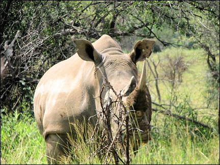 South Africa - Pilanesberg National Park, white rhino