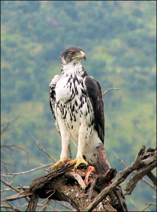South Africa - Pilanesberg National Park, African hawk eagle