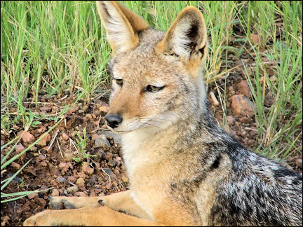 South Africa - Pilanesberg National Park, black back jackal